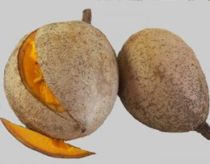 The mamey tree  resembling southern magnolia trees  provides this    Mamey Salvadoreno